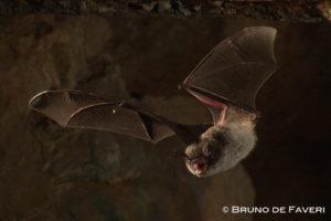 pipistrello emette ultrasuoni dalla bocca